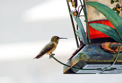 Hummingbird At Rest Poster by Adria Trail