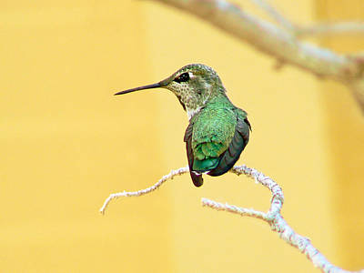 Hummingbird At Rest Poster