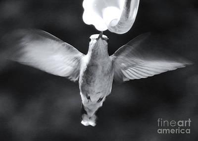 Hummingbird Poster by David Rucker