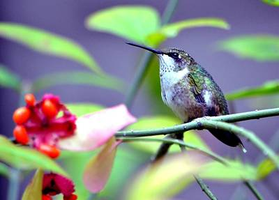 Poster featuring the photograph Hummingbird by Deena Stoddard