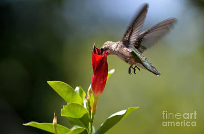 Hummingbird Dipping Poster by Debbie Green