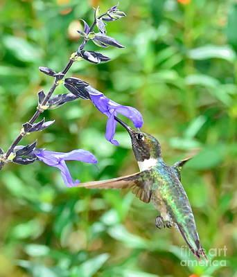 Hummingbird Emerald At Purple Bloom Poster