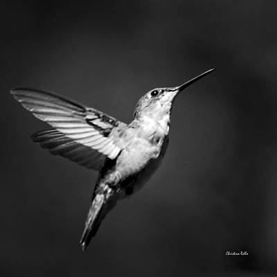 Hummingbird Flight Bw Square Poster by Christina Rollo