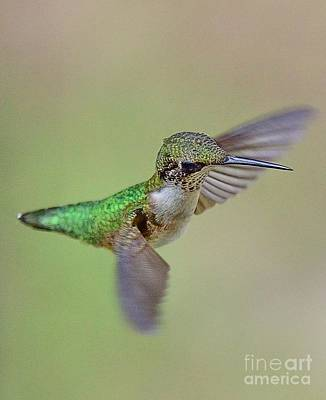 Hummingbird Floats Free Suspended Poster