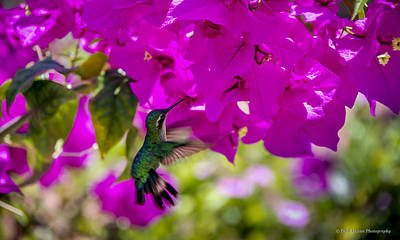 Poster featuring the photograph Hummingbird In A Garden Paradise by Phil Abrams