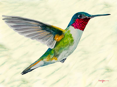 Da103 Broadtail Hummingbird Daniel Adams Poster