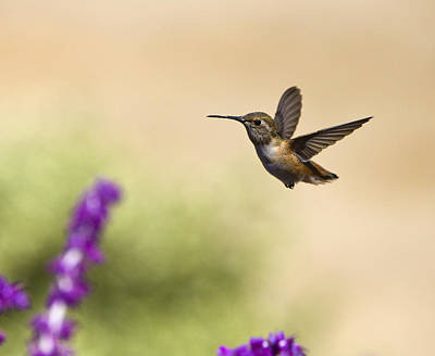 Poster featuring the photograph Hummingbird In Flight by David Millenheft