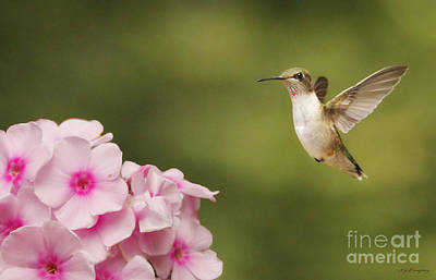 Hummingbird In Flight Poster by Nancy Dempsey