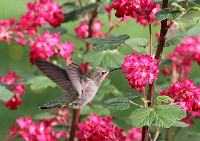 Hummingbird In The Flowering Currant Poster by Angie Vogel