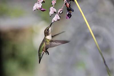 Hummingbird - Little Sipper Poster