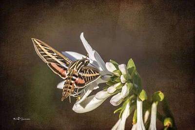 Hummingbird Moth Poster by Jeff Swanson