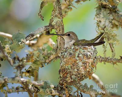 Hummingbird Nesting Poster