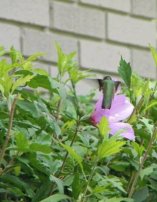 Hummingbird On Althea Poster by Allee Rushing