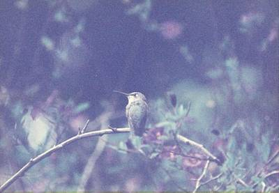 Poster featuring the photograph Hummingbird On Potato Vine by Cynthia Marcopulos