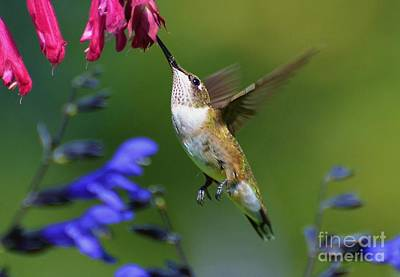 Poster featuring the photograph Hummingbird On Wendy's Wish Flower by Kathy Baccari