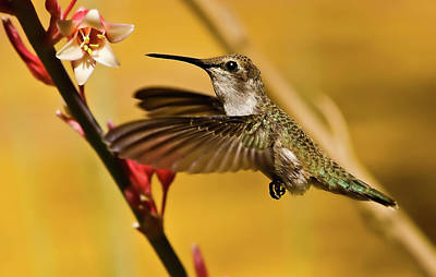 Hummingbird Poster by Robert Bales