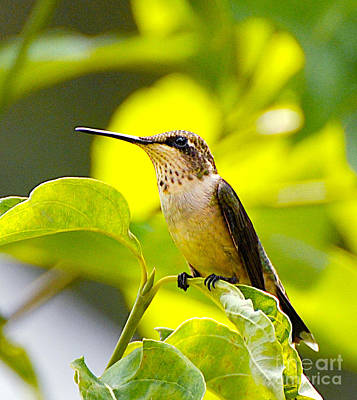 Hummingbird Poster by Stuart Mcdaniel