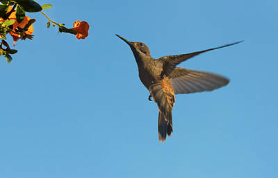 Hummingbird, Venezuela (large Format Poster