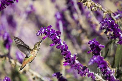 Poster featuring the photograph Hummingbird Collecting Nectar by David Millenheft