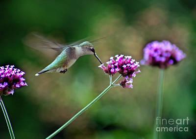 Hummingbird With Purple Verbena Poster by Karen Adams