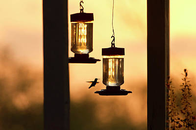 Hummingbirds At Feeder Before Sunrise Poster by Larry Ditto