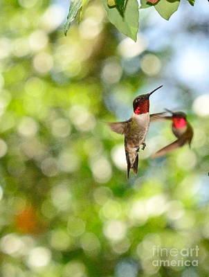 Hummingbirds In Fierce Fight Of Arial Flight Poster