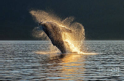 Humpback Breaching At Sunset Poster by Melody Watson