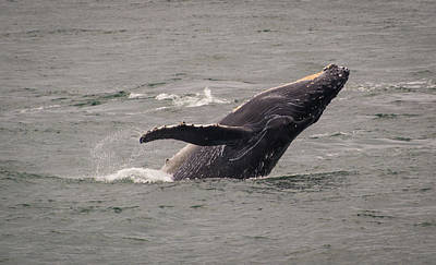 Poster featuring the photograph Humpback Whale Breaching by Janis Knight