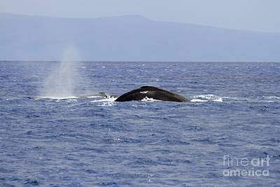 Humpback Pair Poster by Mike  Dawson