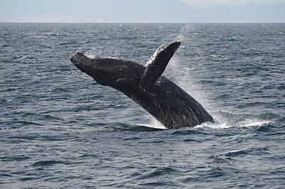 Humpback Whale Breaching Baja Poster by Flip Nicklin