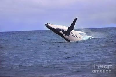 Humpback Whale Breaching Near Puerto Lopez - Ecuador Poster by Al Bourassa