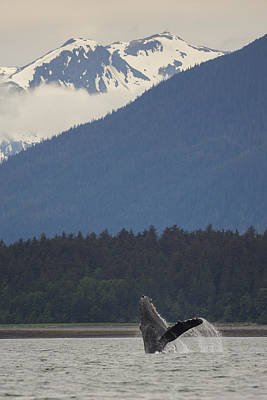 Humpback Whale In Alaska 73a6815  Poster by David Orias