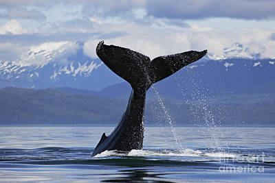 Humpback Whale Lifting Massive Tail Flukes High Surrounded By Snowcapped Mountains In Alaska Poster
