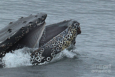 Poster featuring the photograph Humpback Whale  Lunge Feeding 2013 In Monterey Bay by California Views Mr Pat Hathaway Archives
