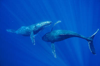 Humpback Whale Males Interacting Maui Poster