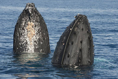 Humpback Whale Males Spyhopping Maui Poster