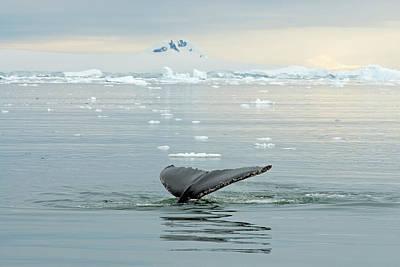 Humpback Whale, Megaptera Novaeangliae Poster