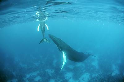 Humpback Whale Mother And Calf Poster by Ethan Daniels