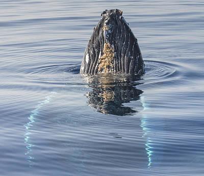 Humpback Whale Spyhopping Maui Hawaii Poster by Flip  Nicklin