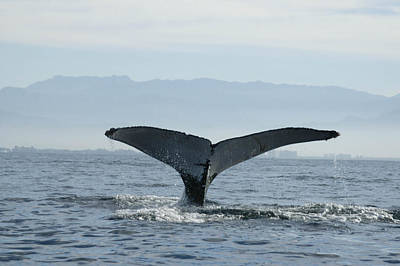 Humpback Whale Tail 3 Poster