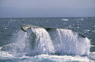 Humpback Whale Tail Poster