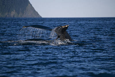 Humpback Whales Swimming On Surface Poster