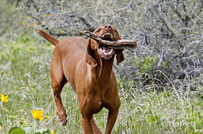 Hungarian Vizsla Retrieving A Stick Poster