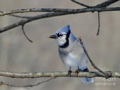 Hungry Blue Jay Poster