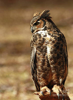 Hunting Solo - Great Horned Owl Poster
