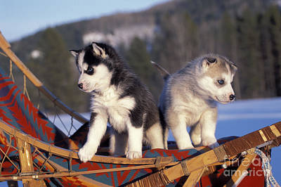 Huskies On A Sled Poster