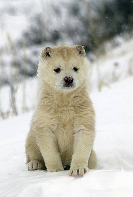 Husky Dog Puppy Poster
