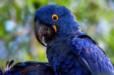Hyacinth Macaw Anodorhynchus Poster by Leonardo Mer�on