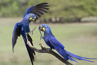 Hyacinth Macaw Pair Fighting Pantanal Poster