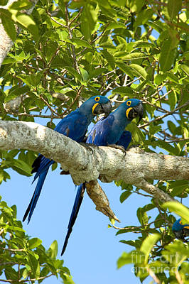 Hyacinth Macaws Brazil Poster by Gregory G Dimijian MD